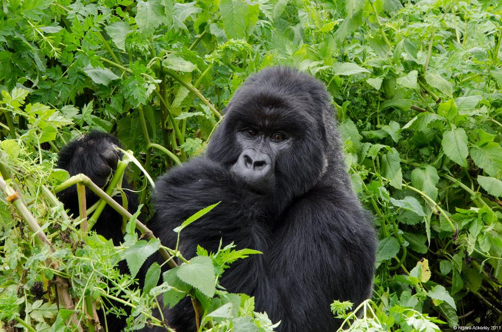 Gorilla eating, Volcanoes National Park, Rwanda.