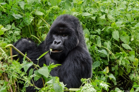 Gorilla eating, Volcanoes National Park, Rwanda. © Ngaire Ackerley 2011. All rights reserved.