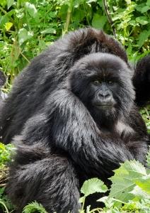 Gorilla, Volcanoes National Park, Rwanda.