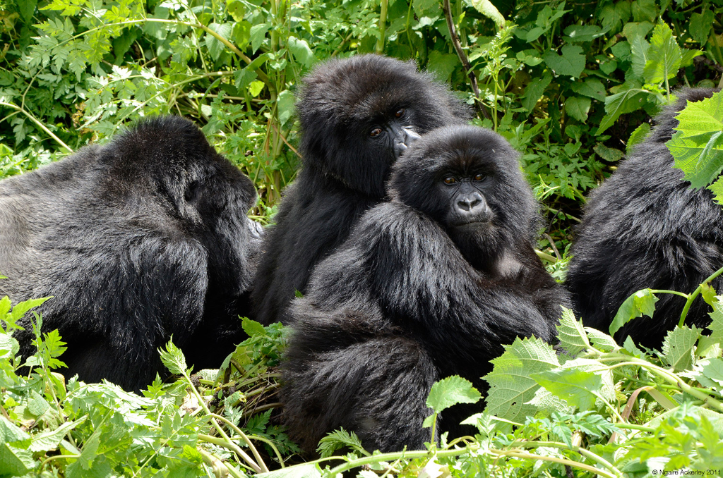 Amahoro Group of Gorillas, Volcanoes National Park, Rwanda.