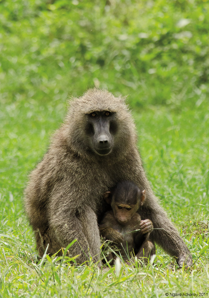Baboons and child, Lake Nakuru National Park, Kenya.