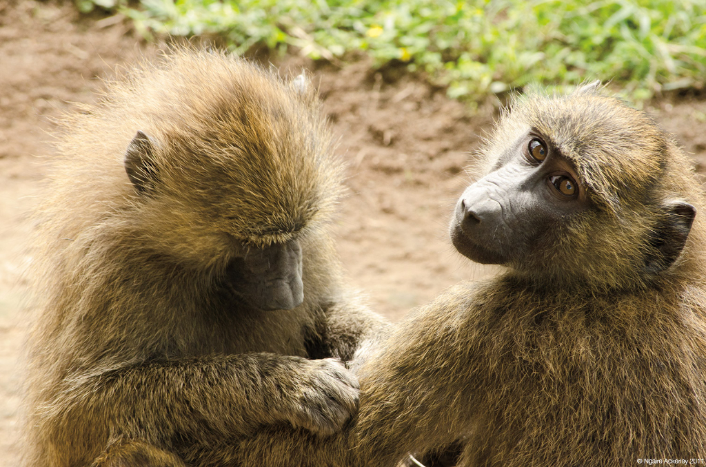 Baboons grooming, Lake Nakuru National Park, Kenya.