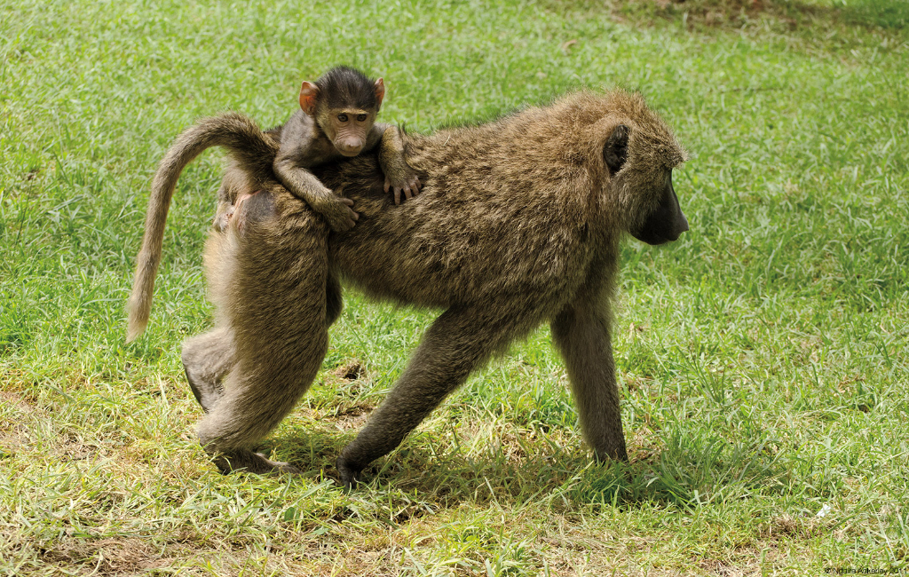 Baboons walking with child, Lake Nakuru National Park, Kenya.