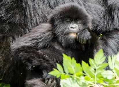 Baby Gorilla eating, Volcanoes National Park, Rwanda.