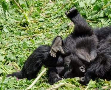 Baby Gorilla playing, Volcanoes National Park, Rwanda.