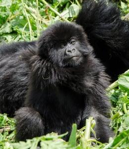 Baby Gorilla scratching, Volcanoes National Park, Rwanda.