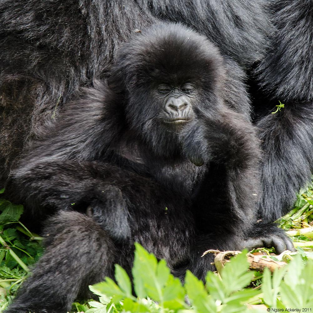 Baby Gorilla, Volcanoes National Park, Rwanda.