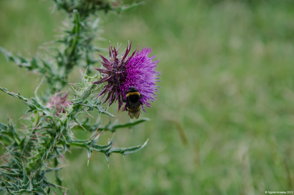 Bee and thistle, Papamoa Hills, New Zealand.