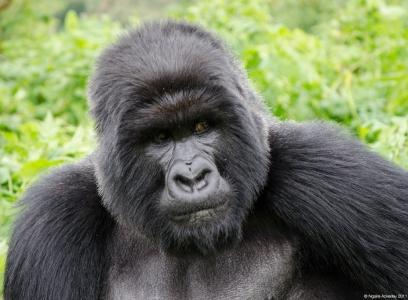 Gorilla, Volcanoes National Park, Rwanda