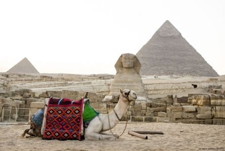 Camel in front of the Sphinx, Giza, Cairo, Egypt