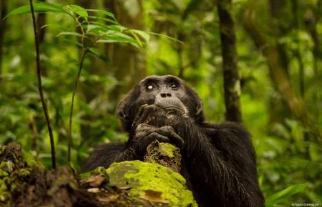 Chimpanzee, Kibale Forest, Uganda.