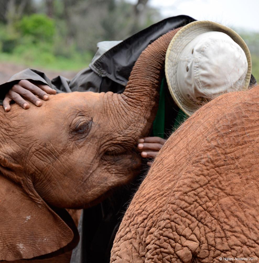 Elephant cuddle, Elephant Sanctuary, Nairobi, Kenya.