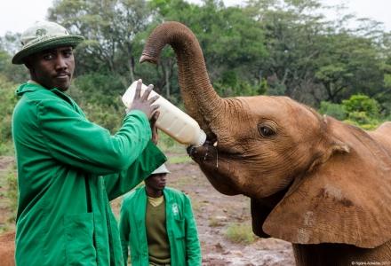 Elephant feeding, Elephant Sanctuary, Nairobi, Kenya.