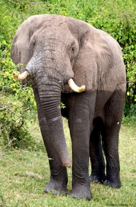 Elephant, Queen Elizabeth National Park, Uganda.