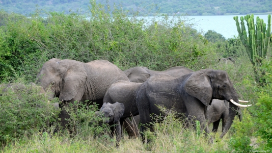 Elephants, Queen Elizabeth National Park, Uganda