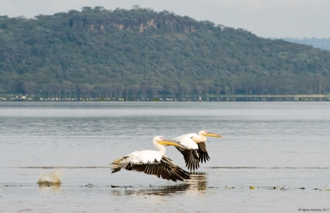 Pelicans flying, Lake Nakuru National Park, Kenya.