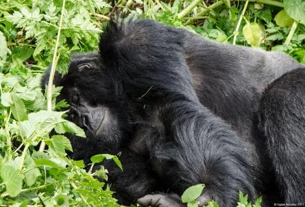 Gorilla sleeping, Volcanoes National Park, Rwanda.