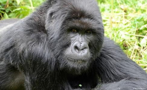 Gorilla staring, Volcanoes National Park, Rwanda