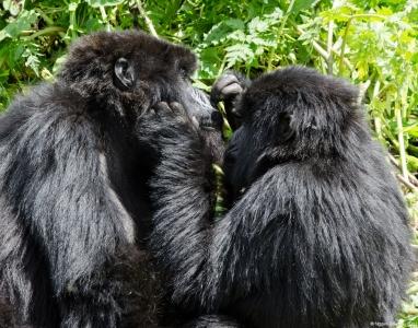 Gorillas grooming each other, Volcanoes National Park, Rwanda.