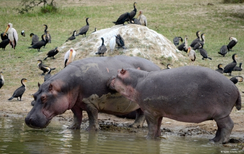 Hippopotamus, Queen Elizabeth National Park, Uganda.
