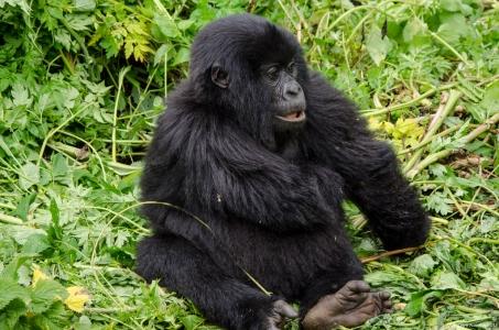 Infant Gorilla, Volcanoes National Park, Rwanda.