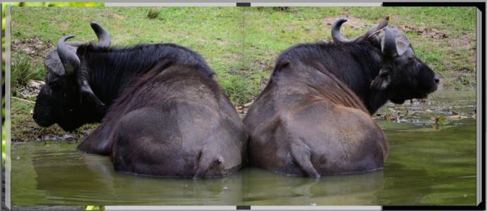Footprints through East Africa - Uganda, water buffalo