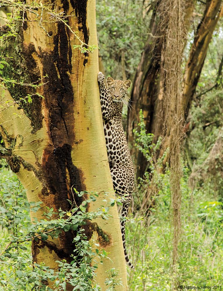 Leopard, Lake Nakuru National Park, Kenya.