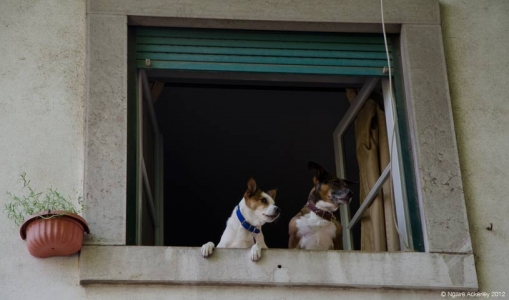 Dogs peering out window, Lisbon, Portugal.