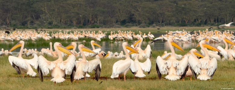 Pelicans, Lake Nakuru National Park, Kenya.