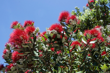 Pohutukawa tree, New Zealand.