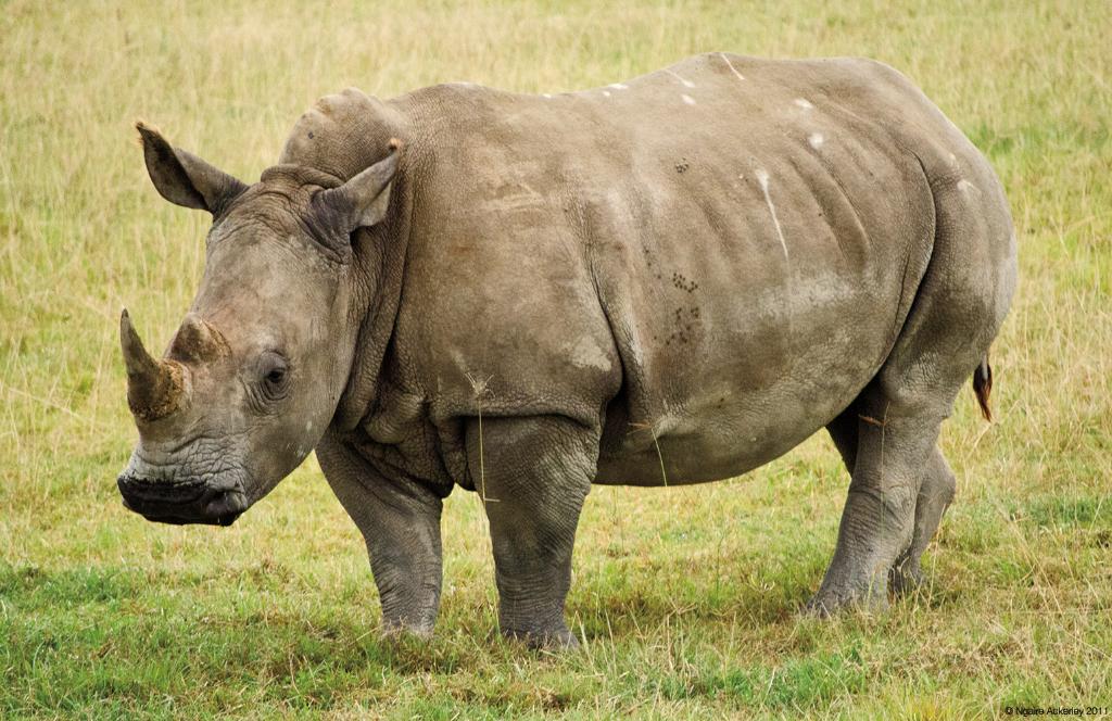 Rhino, Lake Nakuru National Park, Kenya.
