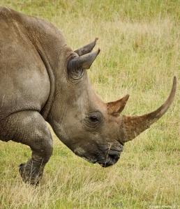 Rhino, Lake Nakuru National Park, Kenya