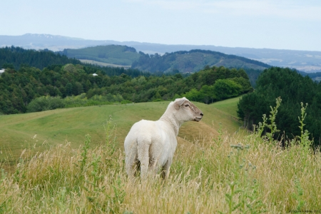 Sheep, Papamoa Hills, New Zealand