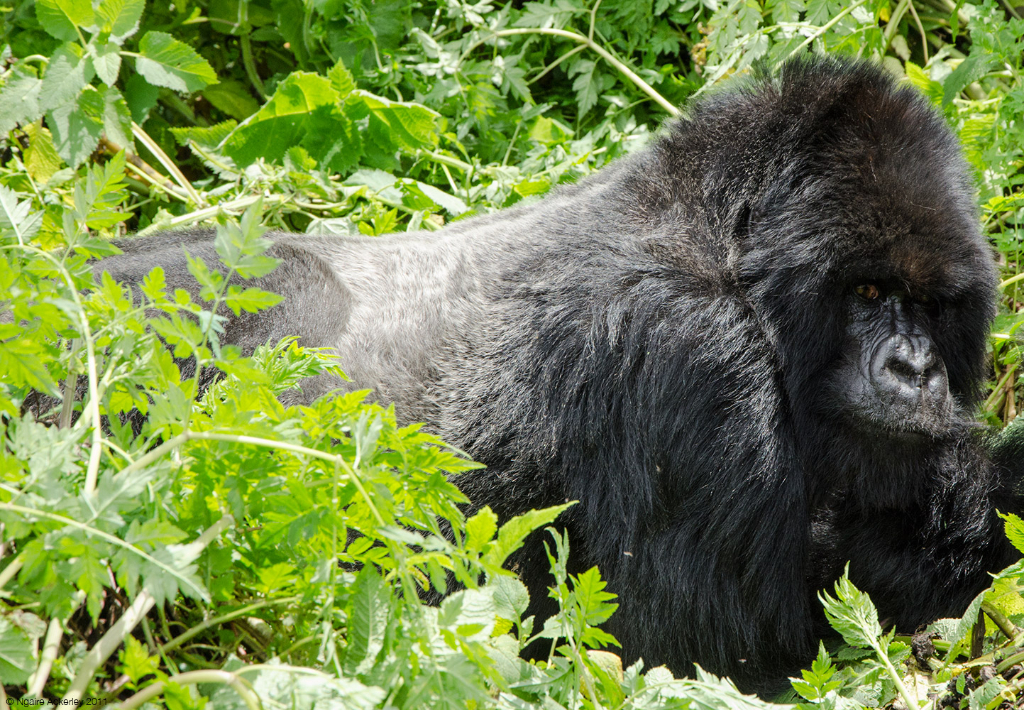 Silverback Gorilla, Volcanoes National Park, Rwanda