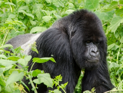 Silverback Gorilla, Volcanoes National Park, Rwanda. © Ngaire Ackerley 2011. All rights reserved.