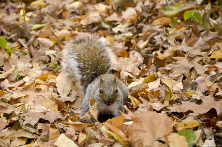 Squirrel, Central Park, New York, USA