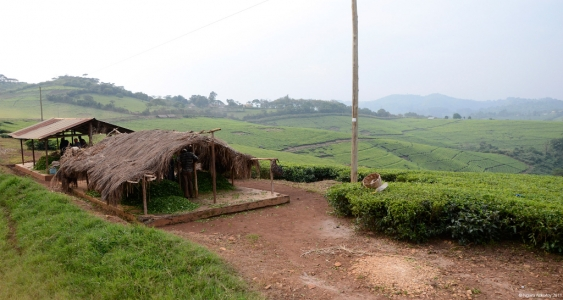 Tea Plantations near Kibale Forest, Uganda.