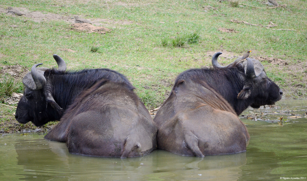 Water Buffalo, Queen Elizabeth National Park, Uganda.