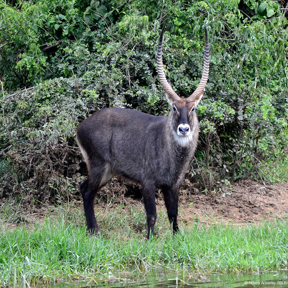 Waterbuck, Queen Elizabeth National Park, Uganda.