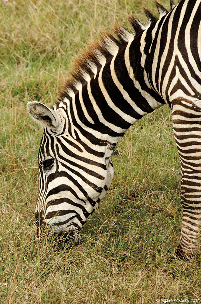 Zebra, Lake Nakuru National Park, Kenya.